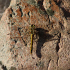 Black-tailed Skimmer (female)