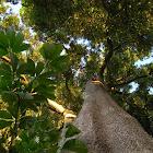 Devil tree, milkwood, white cheesewood, pulai