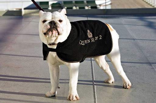 Cunard-Queen-Mary-2-bulldog-on-deck - Can't cruise without your pooch? Queen Mary 2 offers dog owners a kennel program in which your dog is walked and looked after — even if your pet isn't a Winston Churchill lookalike.