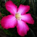 Kalachuchi/ Temple Flower/ Frangipiani