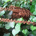 Orobanche du lierre