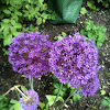 Spanish Alliums