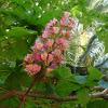 Falso castaño de flor roja