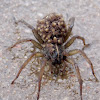 Wolf Spider with Spiderlings