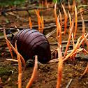 giant pill millipede