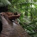 Malayan leaf frog, Long-nosed horned frog