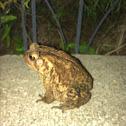 Eastern American toad