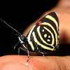 Mariposa Pará Miní