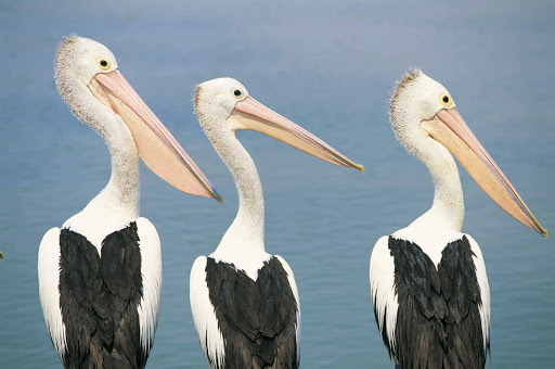pelicans_The_Entrance_NSW - We love this shot of three pelicans checking out the view at The Entrance along Australia's Central Coast NSW.