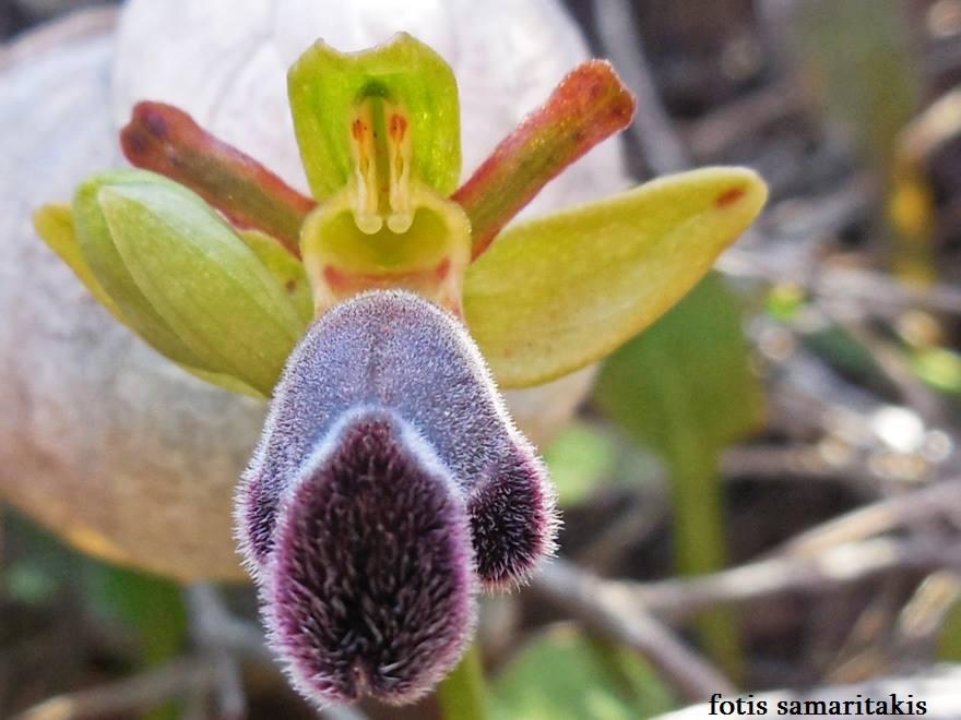 Fleischman's orchid