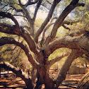 Coastal Live Oak