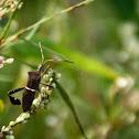 Leaf-legged bug