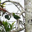 Tuim (Blue-winged Parrotlet)
