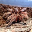 Chilean rose hair tarantula red morph