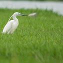 Little Egret Adult Breeding