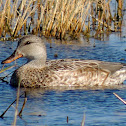 Gadwall (female).