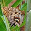 Owl butterfly/Buho
