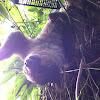 Linnaeus Two-toed sloth