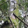 Rainforest Lianas