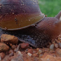 East African Land Snail / Giant African Land Snail,
