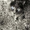 Cat (Russian Blue)