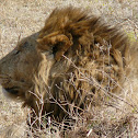 Lion (Serengeti)