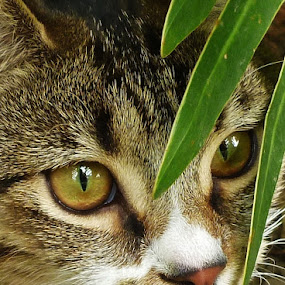 Luna by Carole Walle - Animals - Cats Portraits (  )