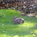 Western Brush Rabbit