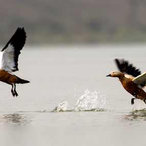 Take Off by Mousam Ray - Animals Birds