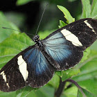 Wallace's Blue Longwing