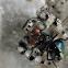 Phidippus adumbratus