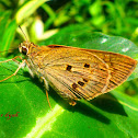 Skipper buterfly
