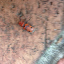 Milk thistle bug