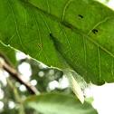Neuroptera