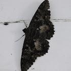 Scops witch moth