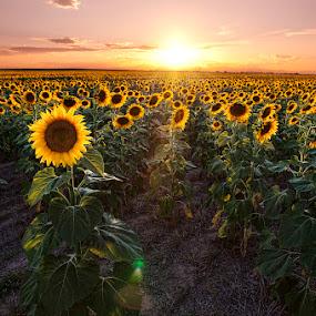 sunflower sunset by James McGinley - Flowers Flower Gardens ( field, green, sunset, sunflowers, colorado, agriculture, yellow, golden hour, sunrise )