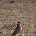 Primavera o Petirrojo Americano (American Robin)