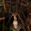 Nurseryweb Spider