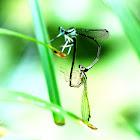Ischnura Asiatica (東亞異痣蟌)