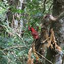 Northen Cardinal