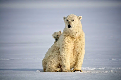 The polar bears are just as curious of the guests of Hurtigruten Fram cruise as they are.