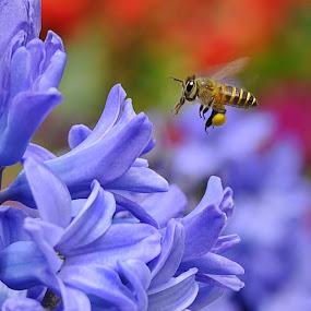 Honey...I am Coming by Leka Huie - Flowers Single Flower ( bee, hyacinthus orientalis, bokeh, honey,  )