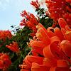 Orange trumpet creeper