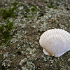 Misplaced Scallop Shell
