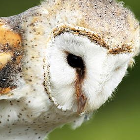 Barn owl  by Debbie Aird - Animals Birds ( bird, barn, avian, owl, n owl, feathers, speckled, close up, animal )
