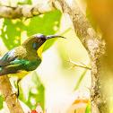 Metallic-winged Sunbird