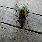 Gleaming Darkling Beetle