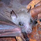 Little collared Bat