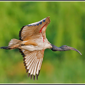 Sacred Ibis by Jan Fourie - Animals Birds