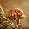 Gastrotheca litonedis